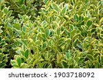 euonymus aureomarginata foliage.... | Shutterstock . vector #1903718092