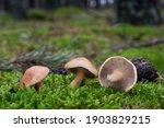 Edible Mushroom Suillus Bovinus ...