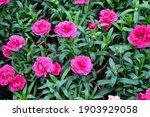 dianthus pental flower.... | Shutterstock . vector #1903929058