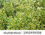 euonymus aureomarginata foliage.... | Shutterstock . vector #1903959358