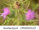 Thistles  Prickles And Flowers...