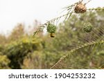 Ploceidae Weaver Bird Create...