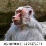 The Hamadryas Baboon  Papio...