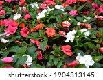 impatiens walleriana flowers....   Shutterstock . vector #1904313145