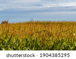 The Tops Of Corn Stalks Are...