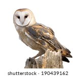 Stock photo a barn owl isolated on a white background perched on a dead tree stump barn owls are silent 190439162