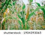 Cornfield.  Fresh Corn In The...