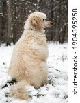 White Royal Poodle In The...