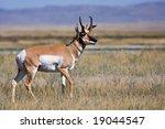 Montana Pronghorn Antelope Buck