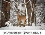A Female White Tailed Deer...