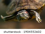 Water Turtle Looking At The...