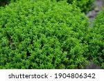 Hebe Plant. Hebe Green Globe....