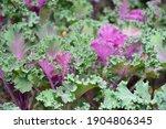 ornamental cabbage plant.... | Shutterstock . vector #1904806345