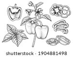 set of bell pepper hand drawn... | Shutterstock .eps vector #1904881498