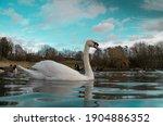 Large White British Mute Swan...
