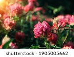 Fresh Clover Flowers On Summer...