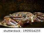 A shy striped crab hiding from the camera. Macro picture taken at some tidepools.