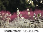 Japanese Plum Tree