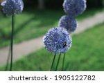 wild onion flower bulb. allium...