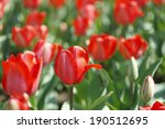 red tulip | Shutterstock . vector #190512695
