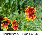 Red And Yellow Gaillardia...