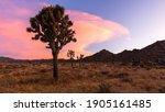 A Large Yucca Cactus...