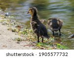 Ducking Standing Up Tall With...