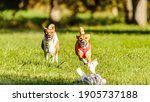 Two Basenji Dogs Competing In...