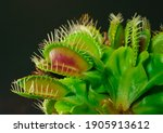 Venus Fly Trap Is On Of The...
