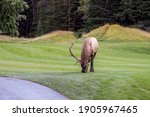 Wild Bull Elk Resting And...