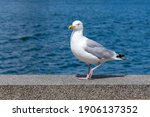 Large White And Gray Seagull...