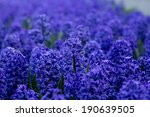 Deep Blue Flowers Of Hyacinths