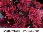 Small photo of Gnash Rambler Coleus, Beautiful Red Bright Color Leaves Wallpaper