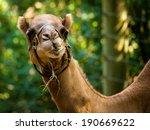 Camel   Camelus Dromedarius
