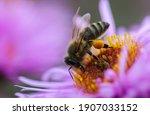 A Honey Bee On A Flower...