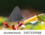 A Marius Hairstreak Feeding...