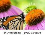 A Monarch Butterfly Feeding...
