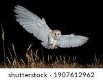 Female Barn Owl  Tyto Alba ...