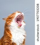 Ginger Cat Yawns At A Mouthful...