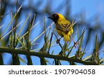 Southern Masked Weaver Sitting...
