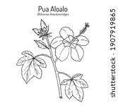 pua aloalo  or yellow hibiscus  ... | Shutterstock .eps vector #1907919865