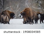 Bison With Horns And Clean Fur...
