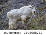 Mountain Goats Can Often Be...