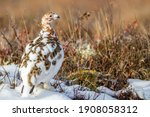 Denali Ptarmigan are usually seen in family groups in Denali National Park. During the summer parents are with their young chicks. When Fall comes they come together are form larger flocks.  Park, Ala