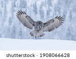 Powerful bird of prey, Great Grey Owl, Strix nebulosa landing with spread wings hunting for its prey in Finnish taiga forest