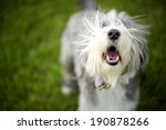 Bearded Collie Barking Ready T...