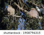 Mourning Dove Isolated On A...