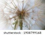 Big Dandelion Flower...