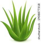 realistic illustration of aloe...   Shutterstock .eps vector #1908877318