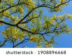 Native Tree Of The Brazilian...